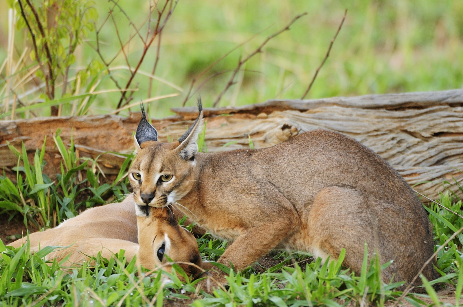 Caracal suffocating gazelle | Unique Safaris