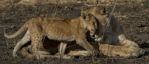 Lion Cub with Mother | Unique Safaris