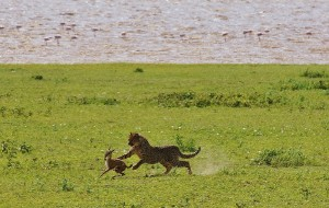 Tanzania Cheetah Hunting | Unique Safaris