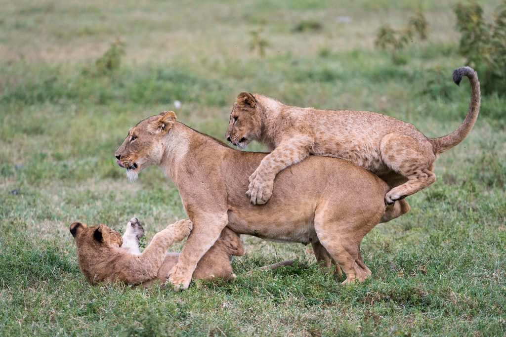 Playful Lions on African Safari | Unique Safaris
