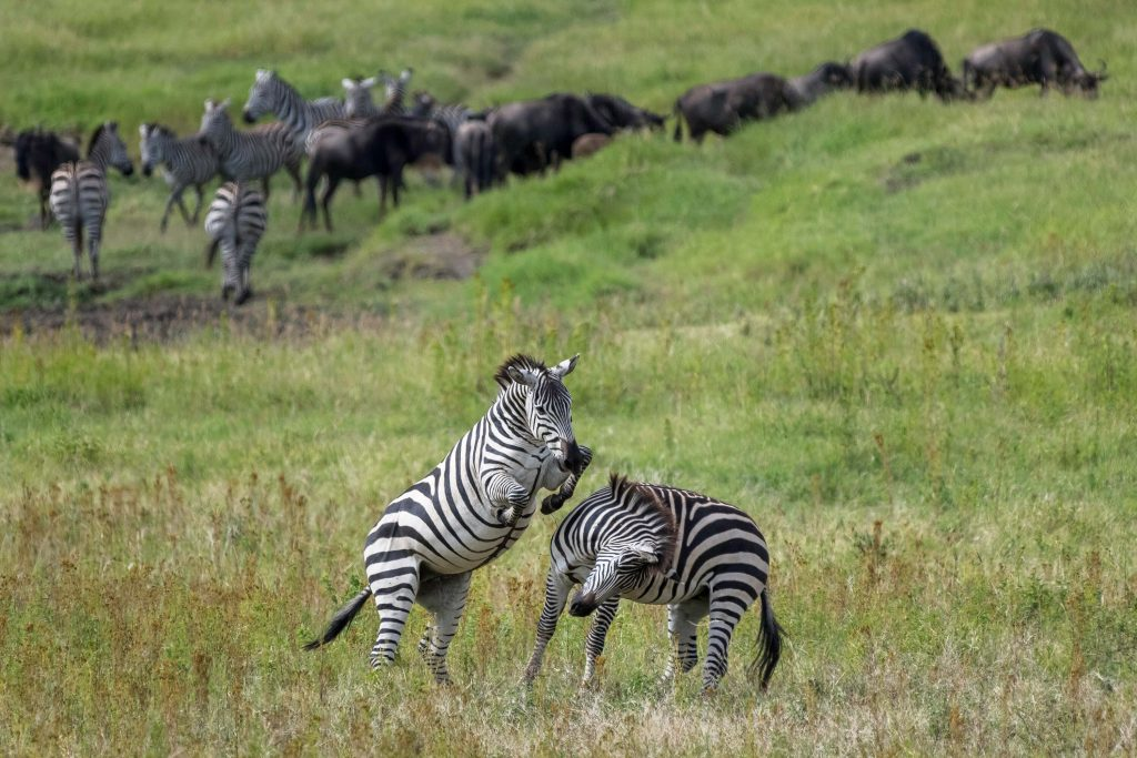 Ngorongoro Zebra Herd | Unique Safaris